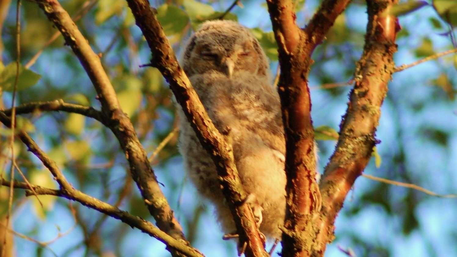 a super fluffy baby owl sleeps in a copper birch tree