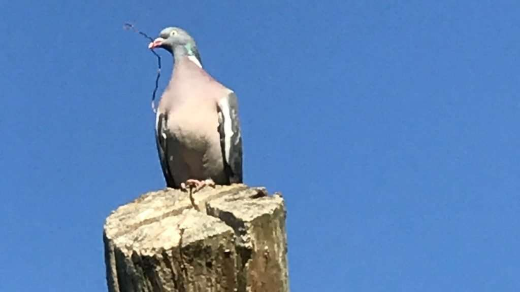 pigeon perches on top of a pole with a twig in his beak